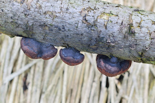 fungus in Puriscal