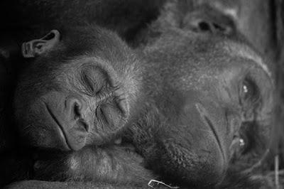 Sleeping Apes