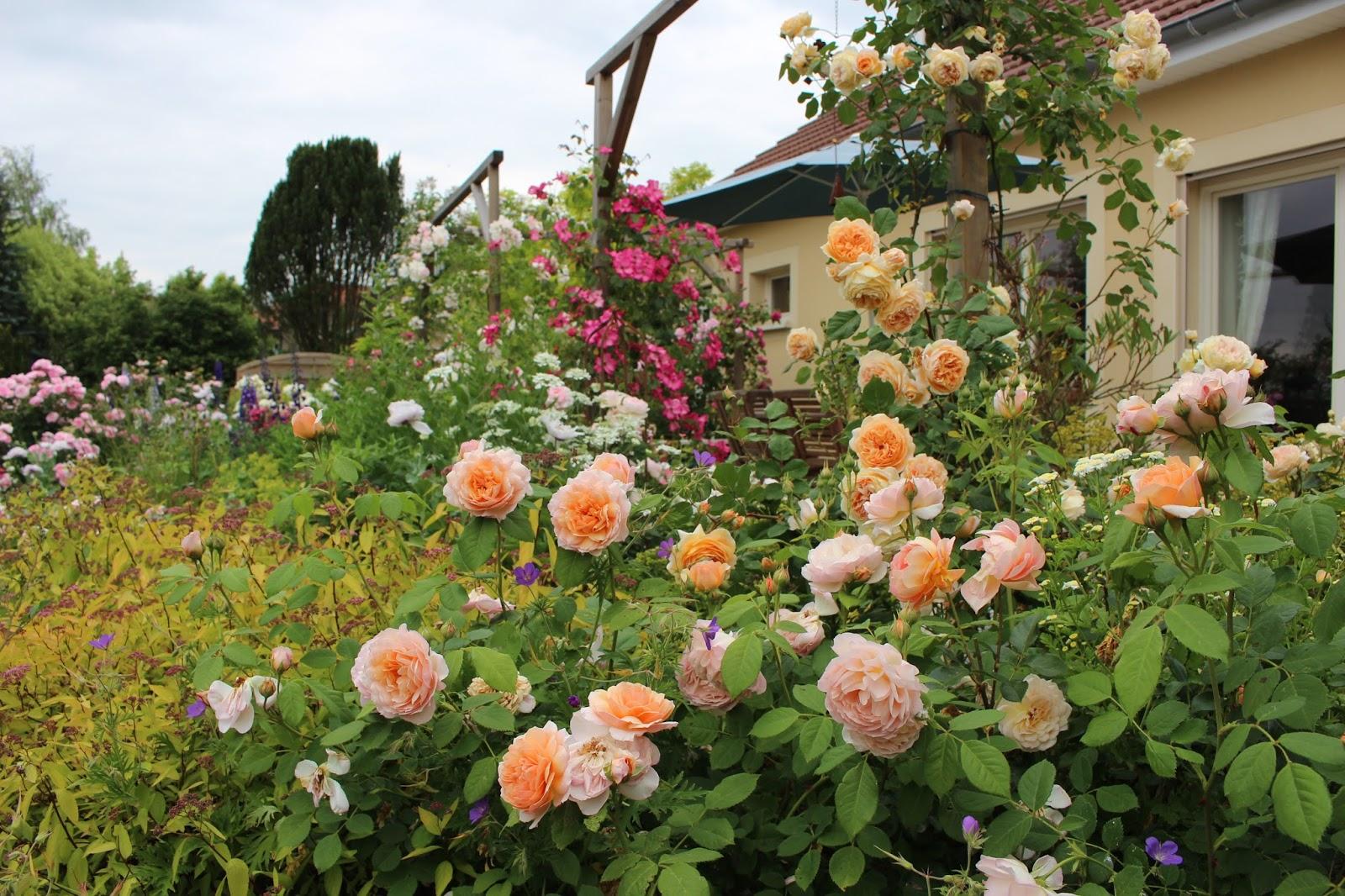les roses du jardin secret grace david austin. Black Bedroom Furniture Sets. Home Design Ideas