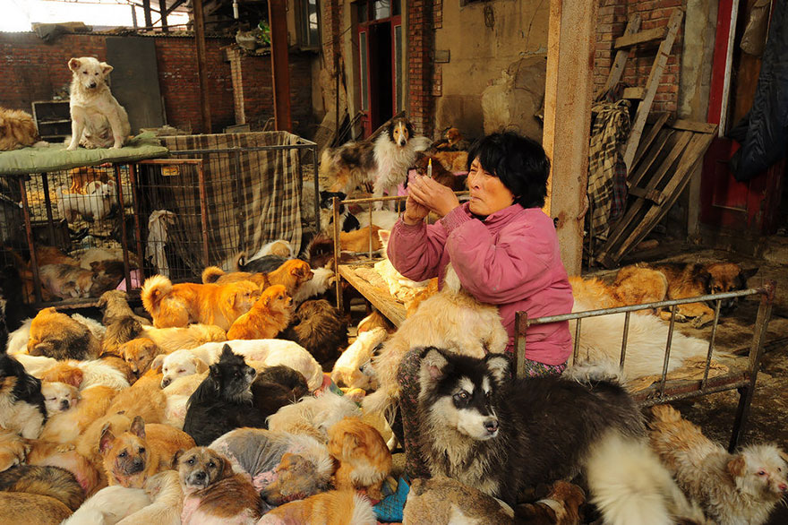 Many of the dogs require medical attention, which she provides - Chinese Woman Travels 1,500 Miles And Pays $1,100 To Save 100 Dogs From Chinese Dog-Eating Festival