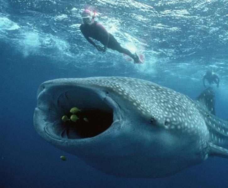 largest whale shark - photo #31