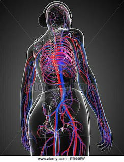 Circulatory system veins arteries
