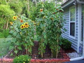 Sunflower Garden Staked at 79 days