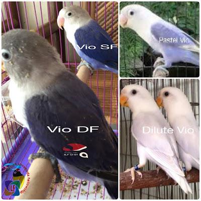 Sobat LovebirdLover mari kita bahas sedikit wacana Perbedaan Mutasi Pastel dan Dilute Sukses Dalam Burung Lovebird Mengenal Perbedaan Mutasi Pastel dan Dilute