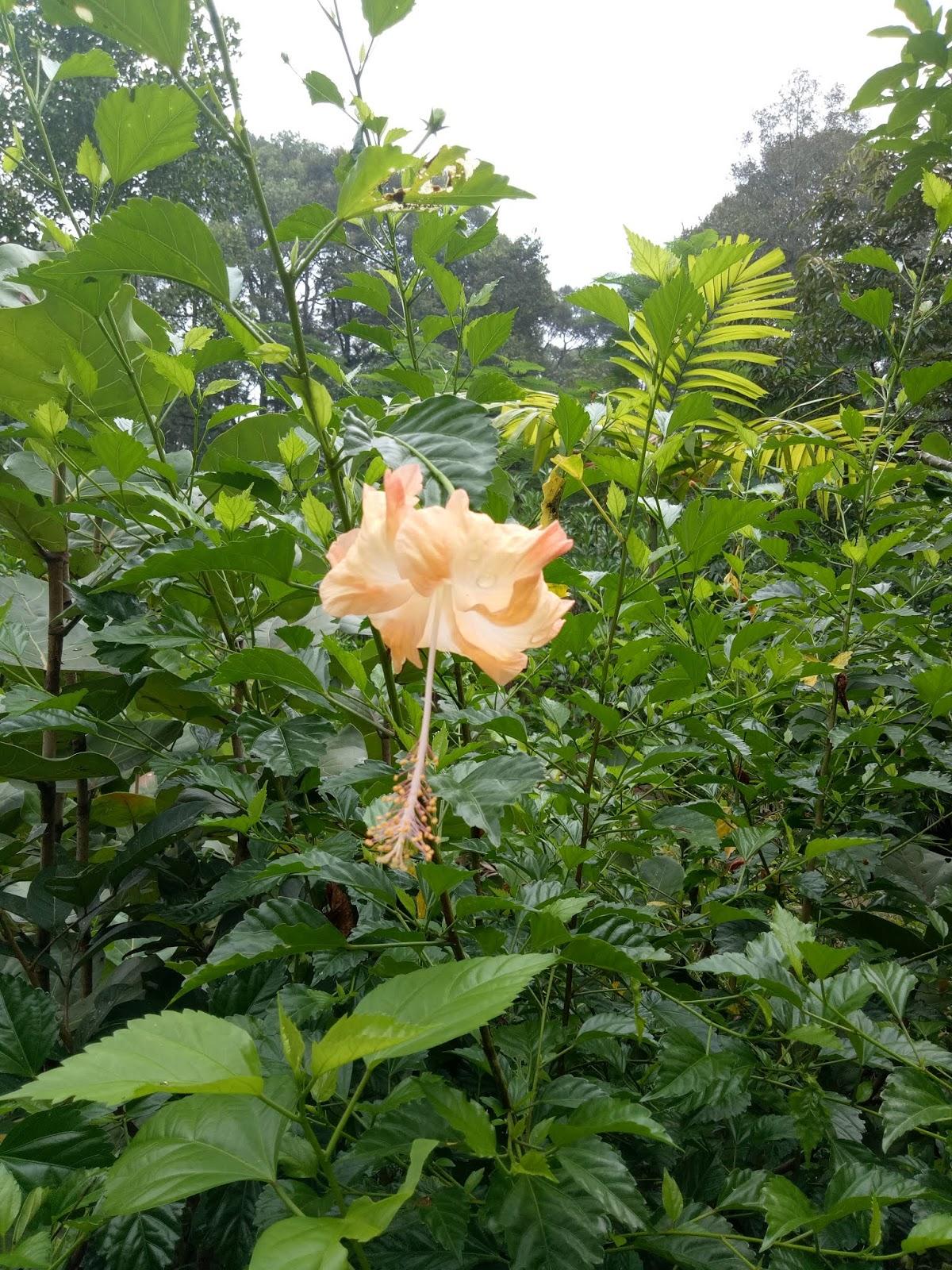 Jual Tanaman Hias Bunga Sepatu Kembang Sepatu Hibiscus Hibiscus Rosa Sinensis L Sinox Nursery Tanaman hias bunga sepatu