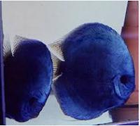 Ikan Hias Air Tawar Termahal Solid Blue