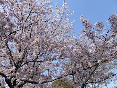 寝屋川公園 テニスコート周辺の桜