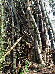 bambu-duri,www.healthnote25.com