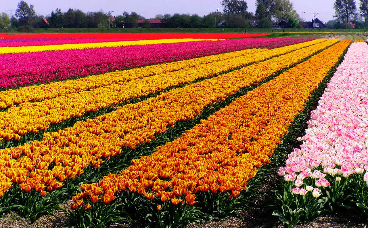 Police Car Wallpaper Mobile Background Pictures Of Tulip Fields Holland Wallpaper View