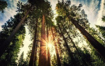 Wallpaper: Giant Sequoias