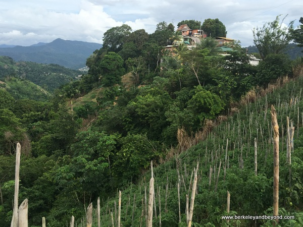 view of Paramin Village over vertical tomato fields in Trinidad