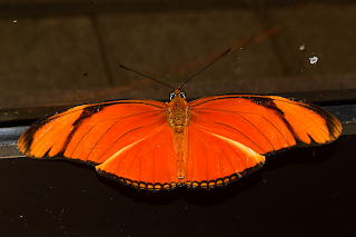 orange butterfly with big eyes