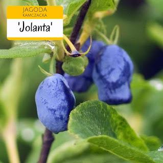 Owoce jagody kamczackiej odmiany Jolanta