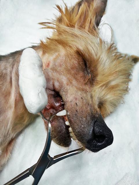 fijadores fractura mandíbula perro