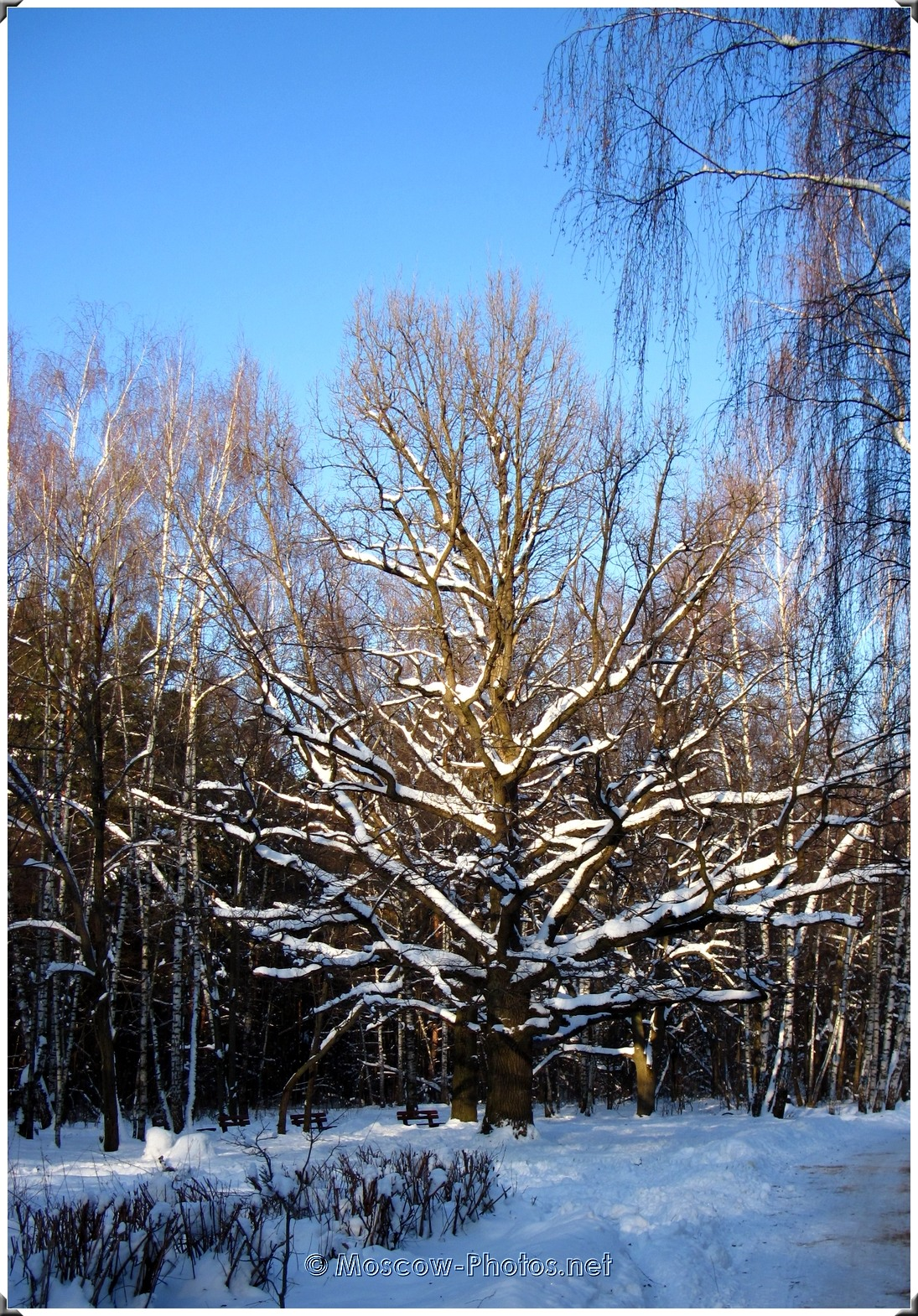 Winter Forest In Moscow
