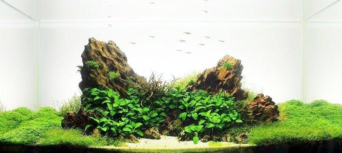 bố cục thủy sinh chủ đạo với đá tiger và ráy nana