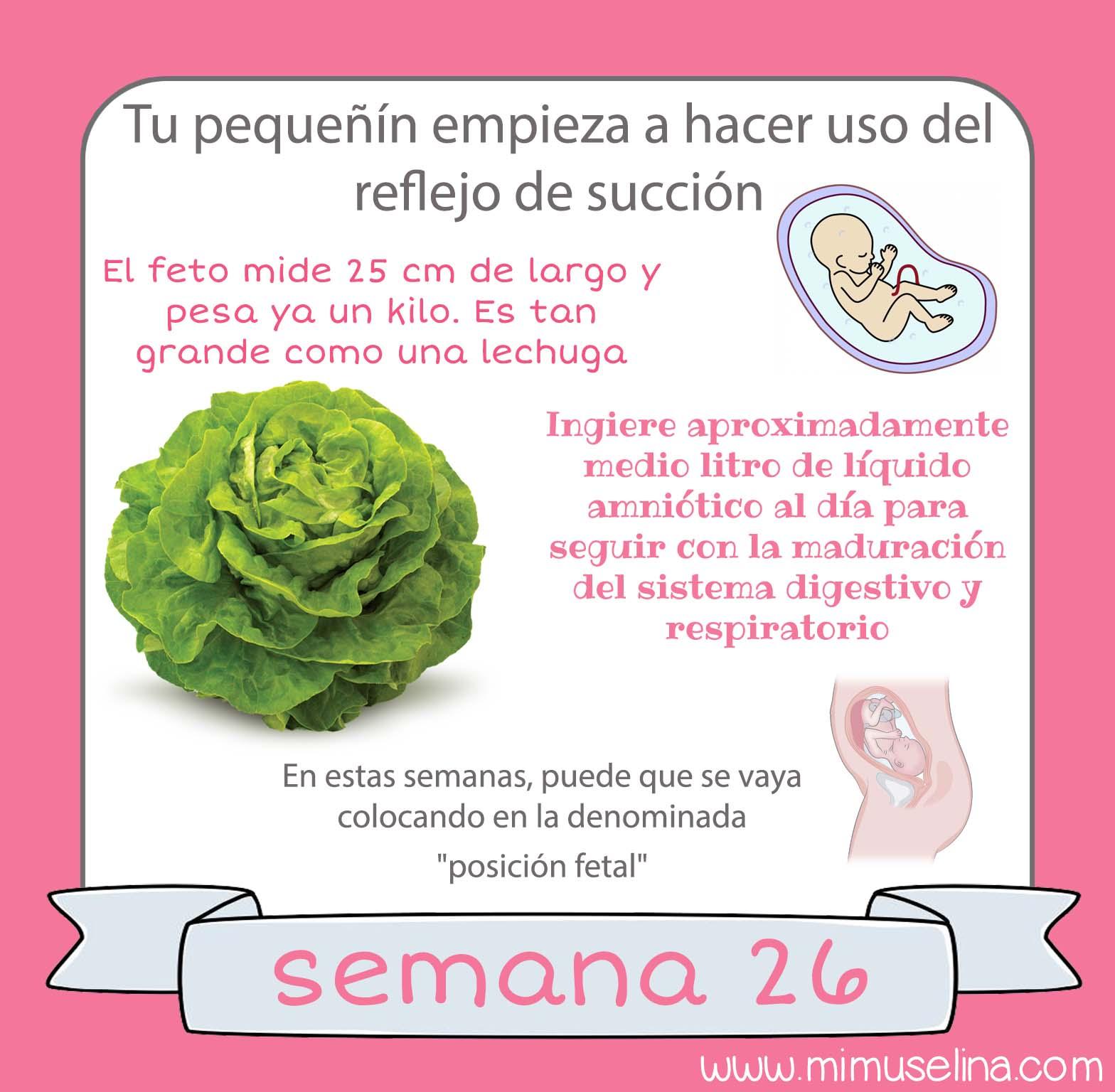 1fad2e46a Semana 26 embarazo. Tamaño y evolución del bebé  mimuselina. EL BEBE  El  feto mide 25 centímetros de largo (desde la cabeza hasta el final de la  columna) y ...