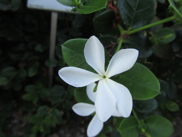 Fiore Carissa macrocarpa