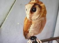 Anak Burung Oriental Bay Owl