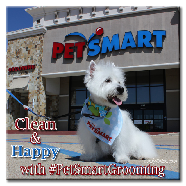 White West Highland Terrier in front of PetSmart