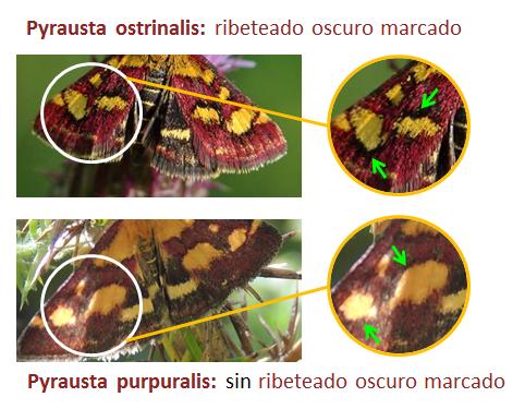 Comparativa de Pyrausta ostrinalis y Pyrausta purpuralis (recorte de P. ostrinalis en foto de Juan Santiago)
