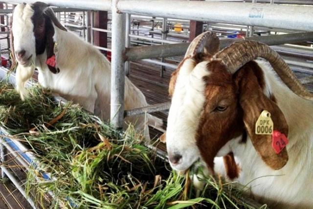 harga jual kambing kurban