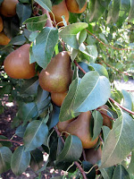 Photograph of bosc pears on a pear tree
