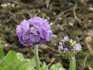 Primevère denticulée - Primula denticulata