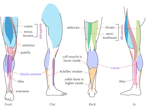 Leg Muscle Anatomy