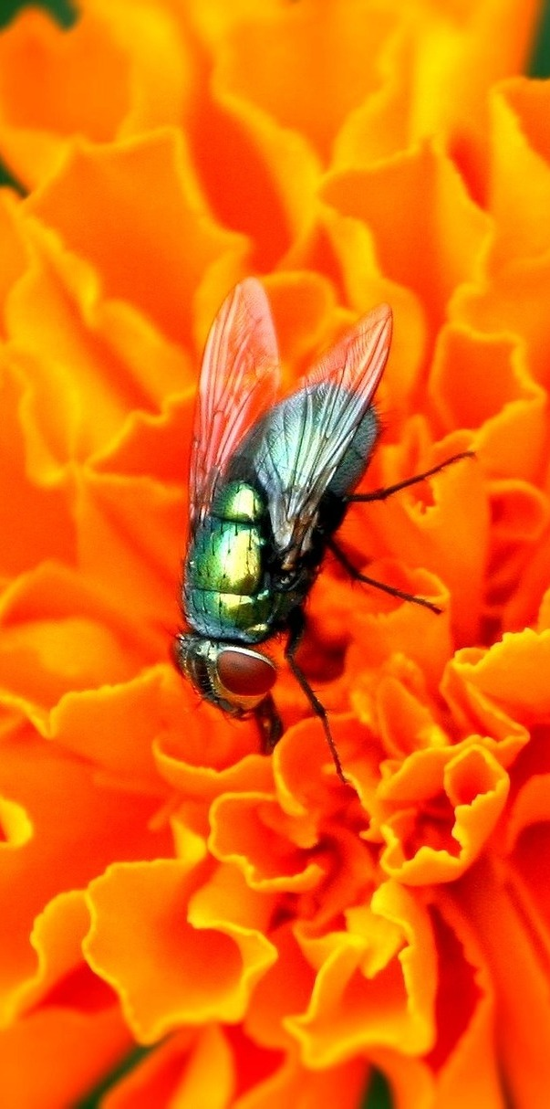 A housefly flower visit.