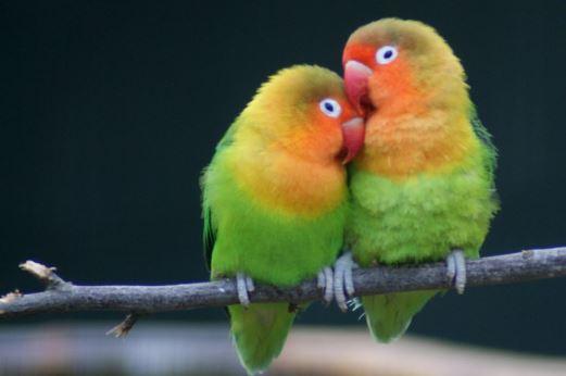 Cara Menjodohkan Lovebird Untuk Pemula Ampuh