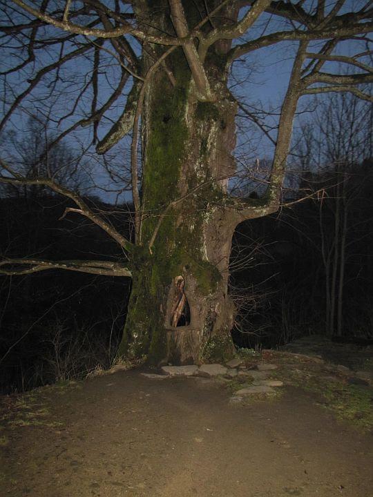 Wiekowe drzewo z niezwykłą dziuplą.