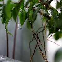 korzenie powietrzne