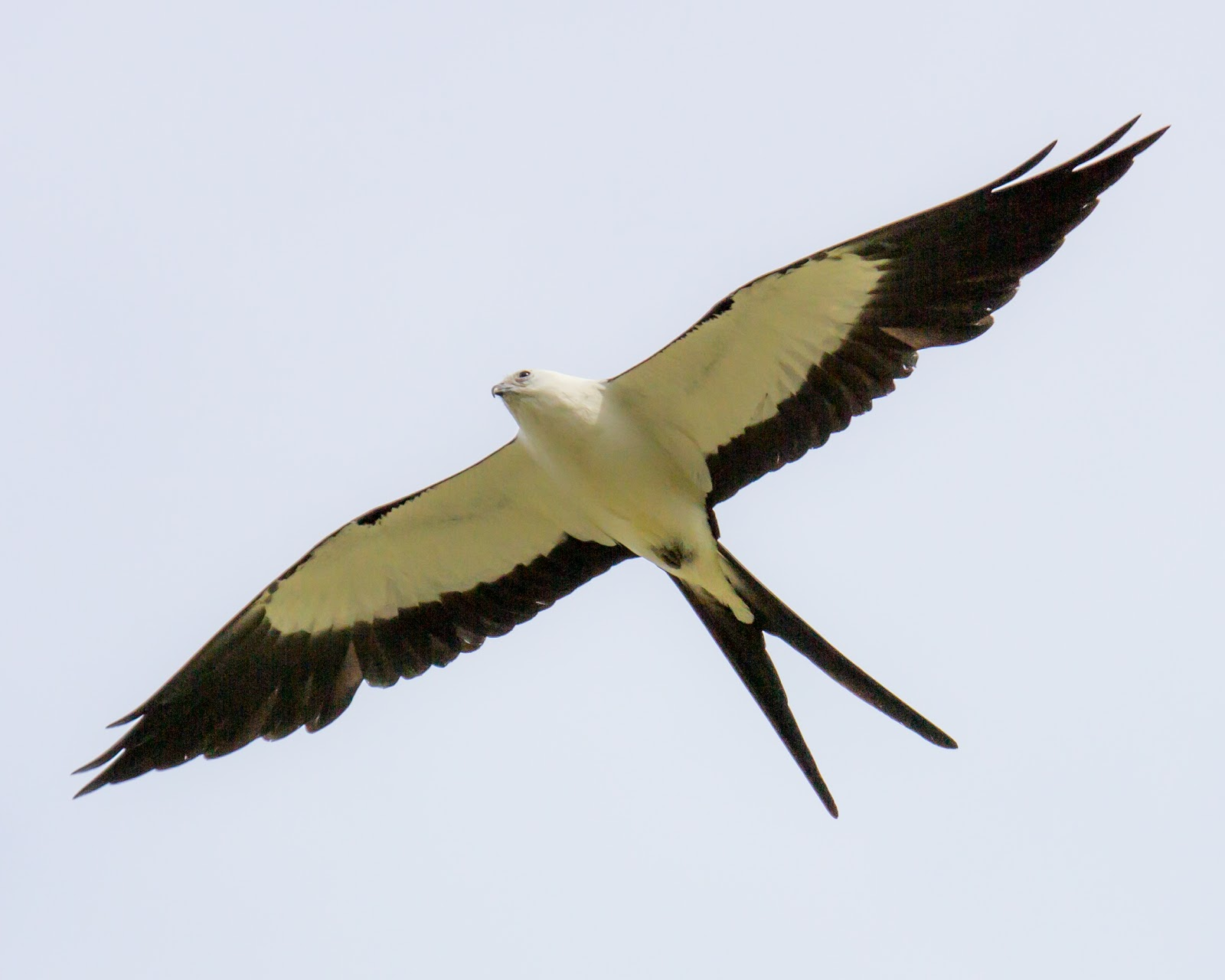 Angels for You: Swallow-Tailed Kite: An Angel Message