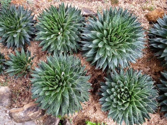 Aloe Aristata - Lace Plant - Torch Aloe plants