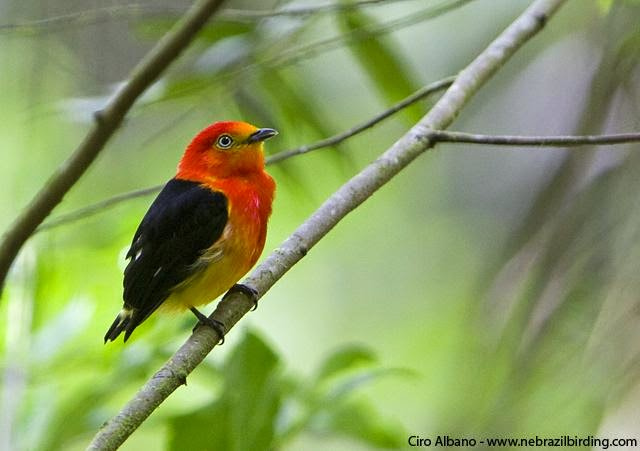 Band tailed Manakin