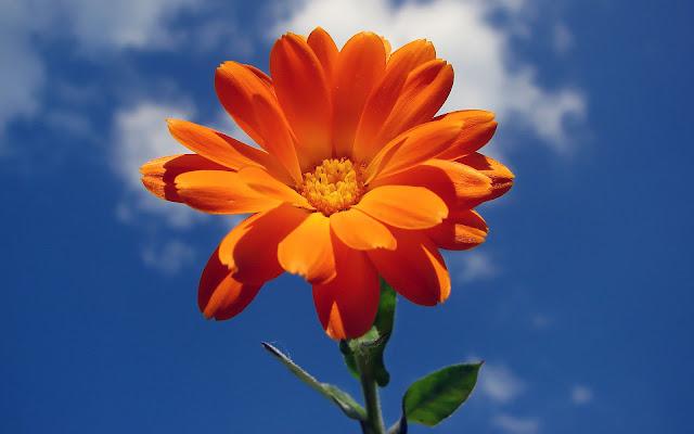 Oranje bloemen op een blauwe achtergrond