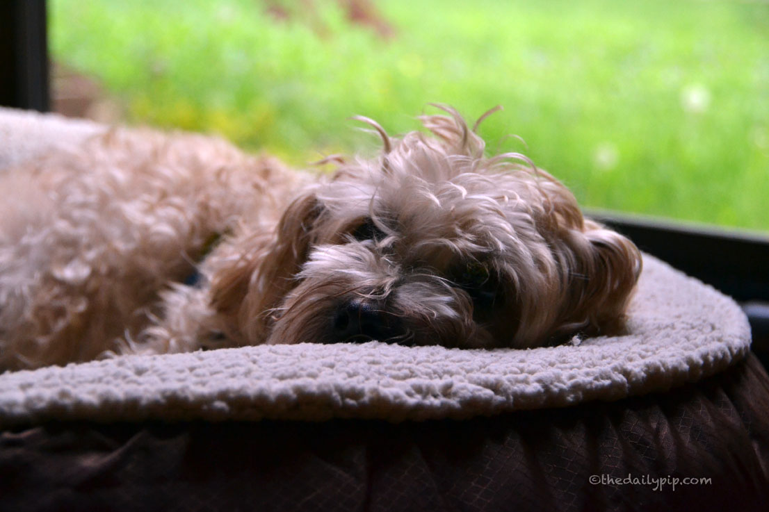 Comfort Oasis Dog Bed By TrustyPup is perfect for afternoon naps