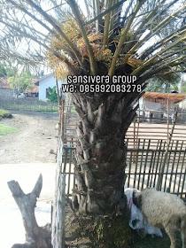 Jual Pohon Kurma berbuah