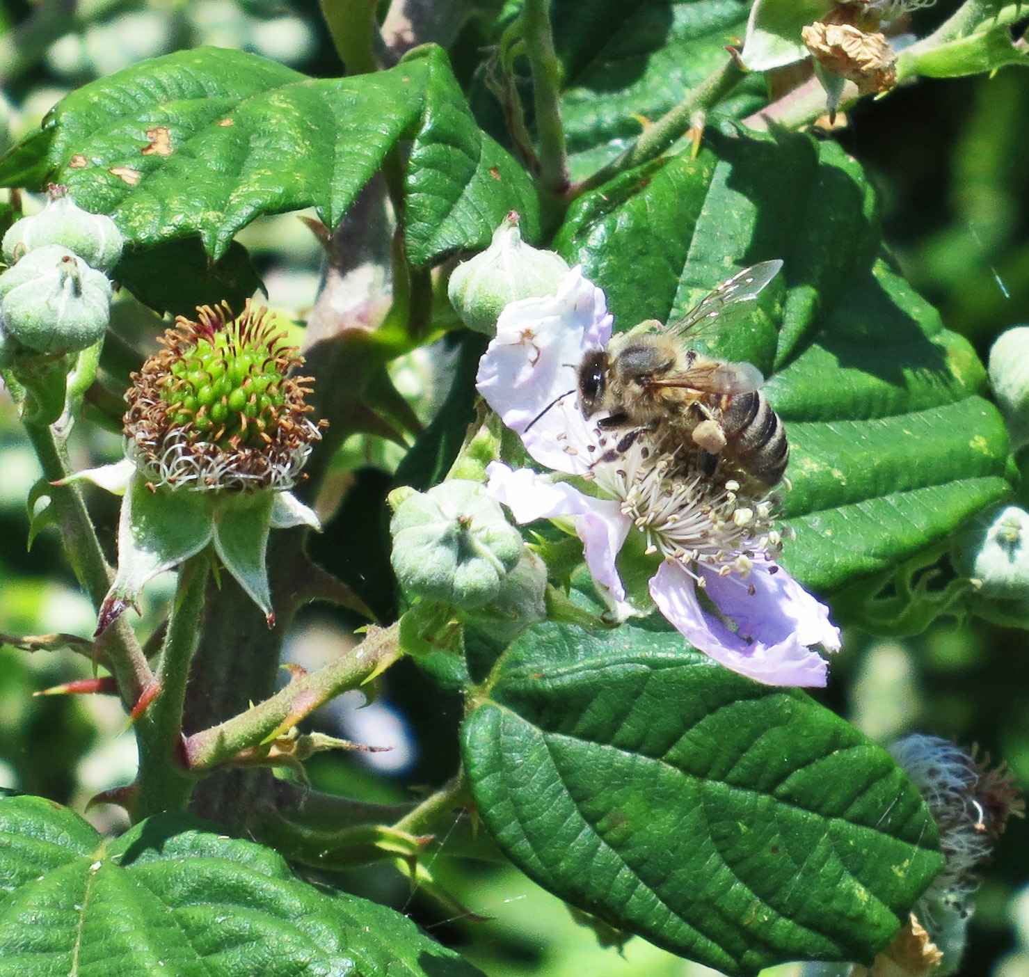 Honey Bee (Apis mellifera) June 25th 2014 on bramble flower - with blackberry forming