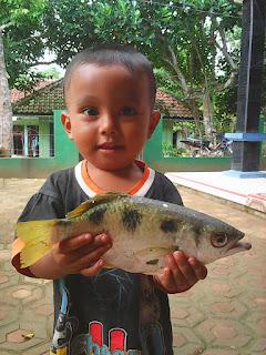 ikan paci