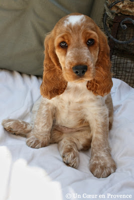 Young english cocker spaniel anglais