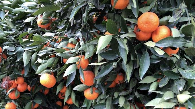 Citrus Reticulata Var. Clementina