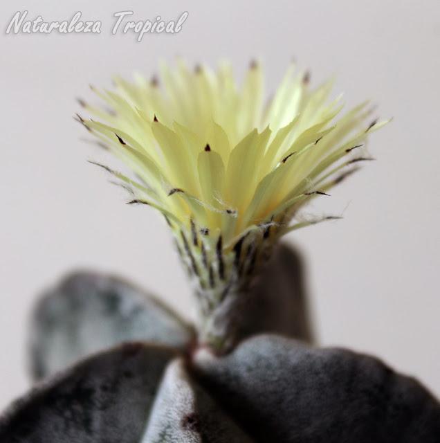 Vista lateral de la flor del cactus Bonete de Obispo, Astrophytum myriostigma