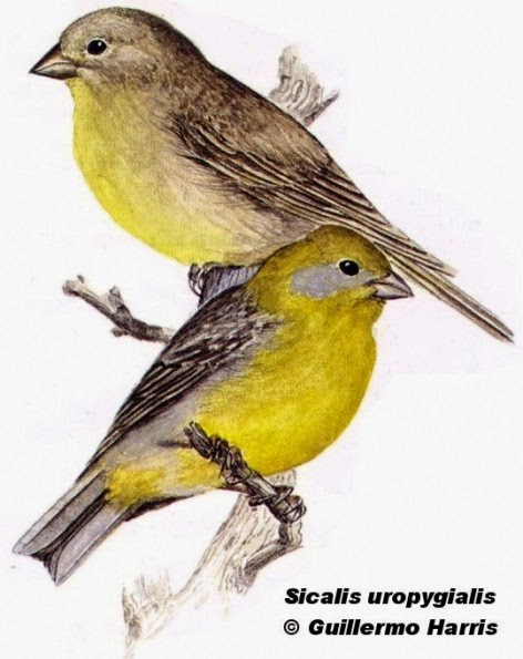 Bright rumped Yellow finch