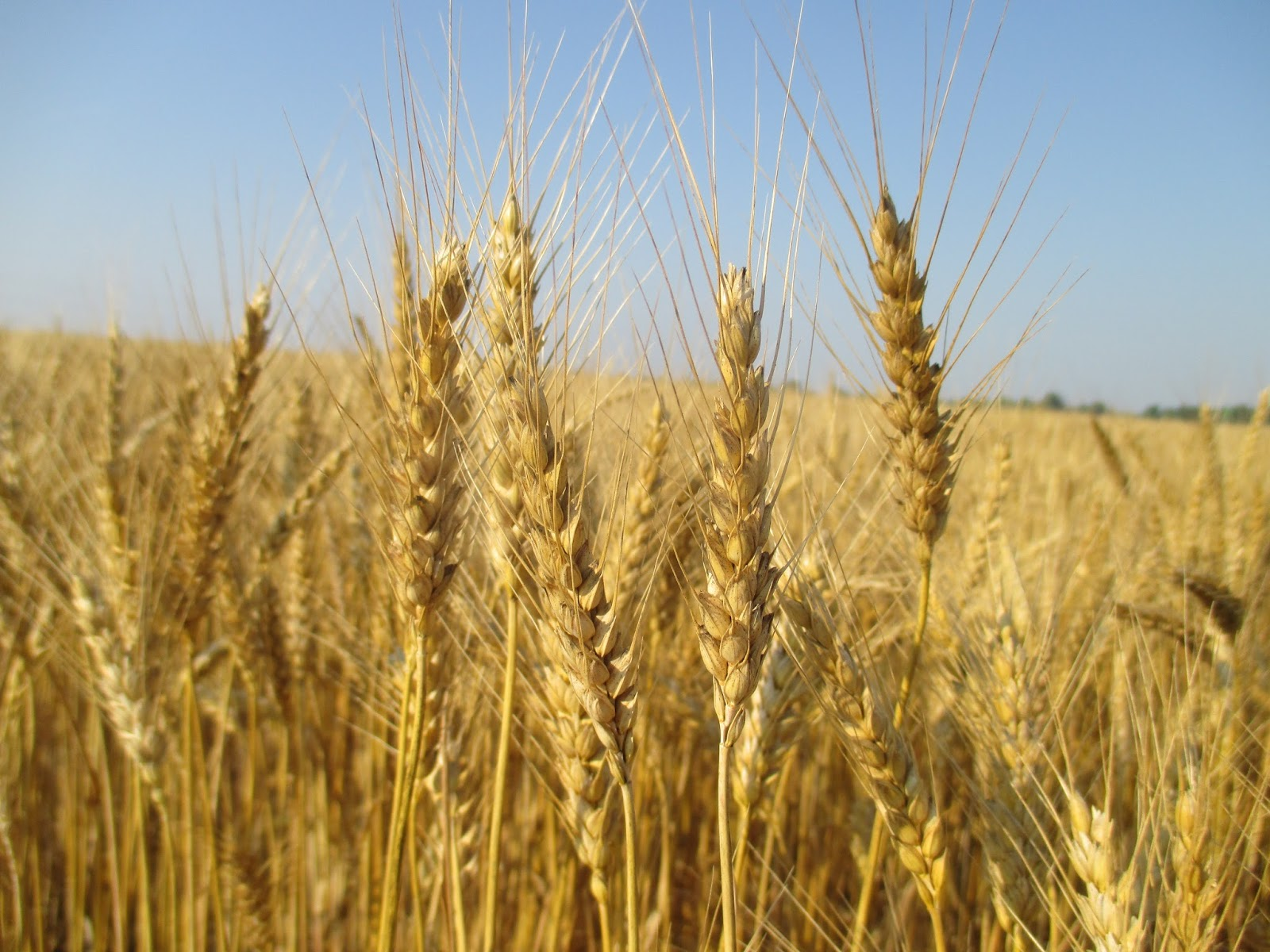 wheat winter wheat Bred for forage, this winter wheat can really add something to the overall feed value of your rations whether you wish to make dry hay or spring haylage, forage winter wheat is an excellent option.