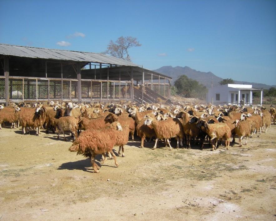 Dê, cừu vật nuôi đặc thù ở miền đất Ninh Thuận