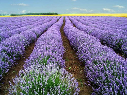 The sedative activity of lavender and acting on the nervous system is generally known. Lavender oil is relaxing the body, relaxing the mind, removing insomnia. It also removes headaches, migraines, anxiety, depression, heart palpitations on the nervous base.