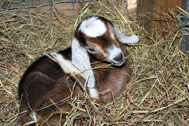 When are goats old enough to be bred? How do I plan when to breed them?