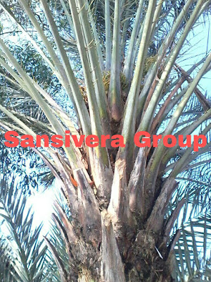 Foto Pohon Kurma Azwa Betina Berbuah
